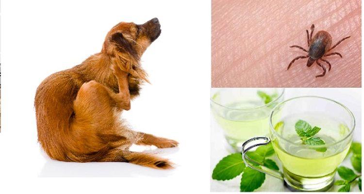Este remedio aleja las pulgas de tu casa para siempre - Remedios caseros para las pulgas en casa ...