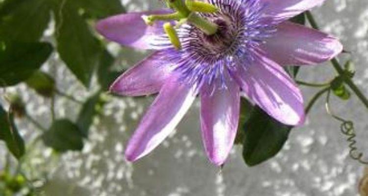 La pasiflora, maracuyá, flor de pasión, granadilla o chinola, es uno ...