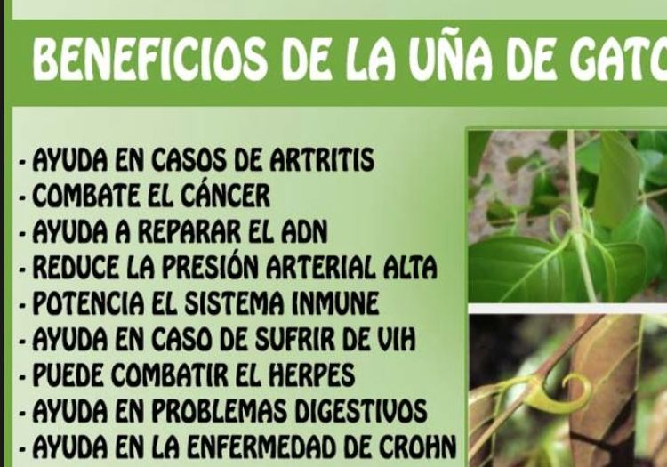 La uña de gato: inmunidad, artritis, cáncer, alergias, asma ...
